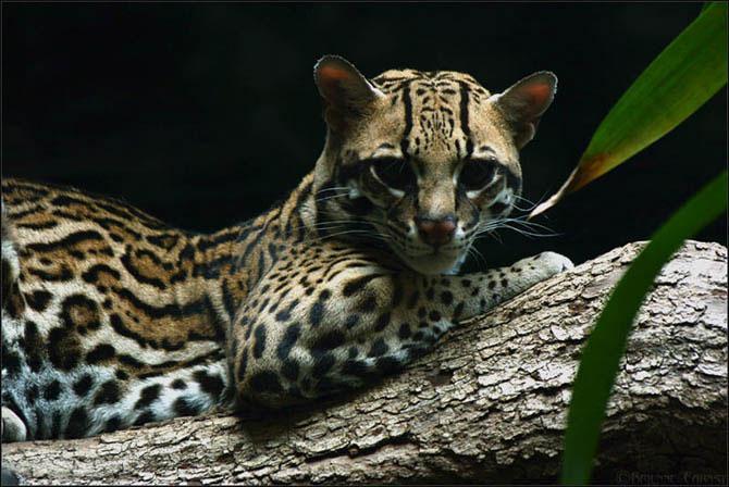 Оцелот – карликовый леопард