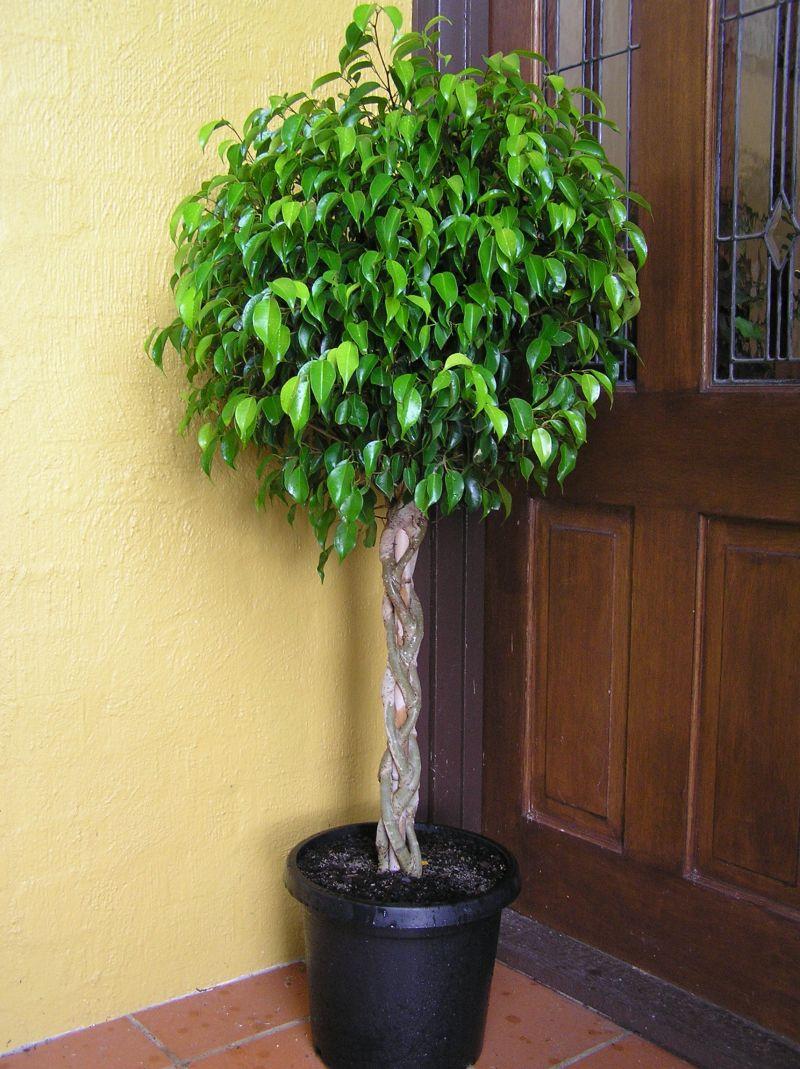 Цветы комнатные как дерево растут