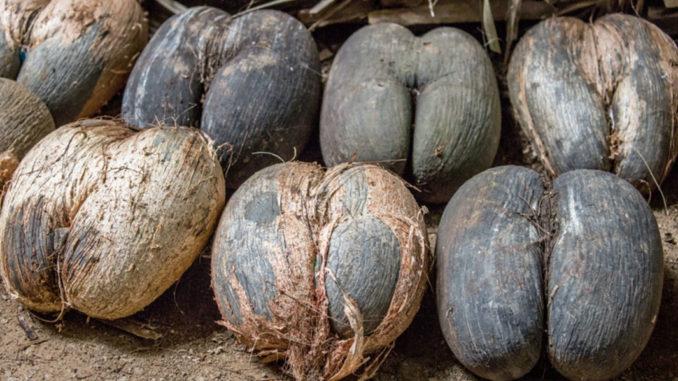 Что такое сейшельский орех, …