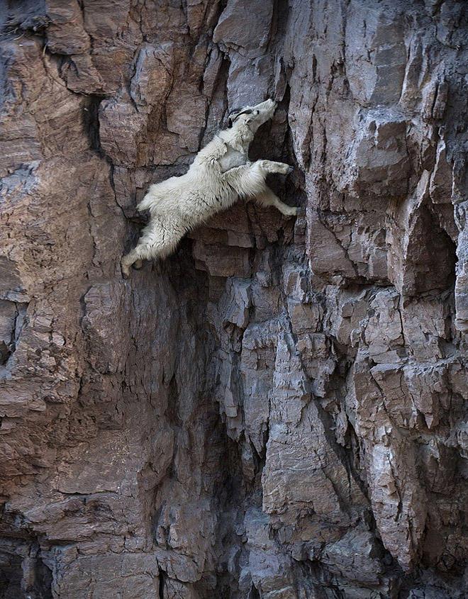 crazygoats01 Козлы, которым не ведома боязнь высоты