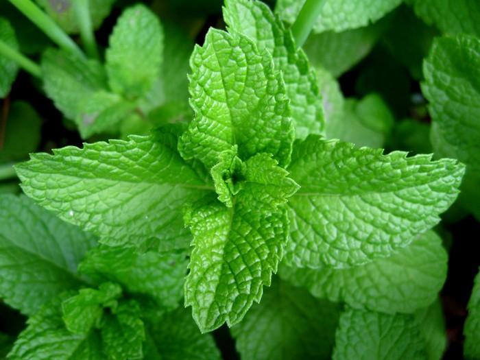 Мятный чай - свойства и польза