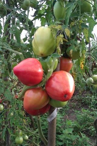 Уход за высокорослыми томатами