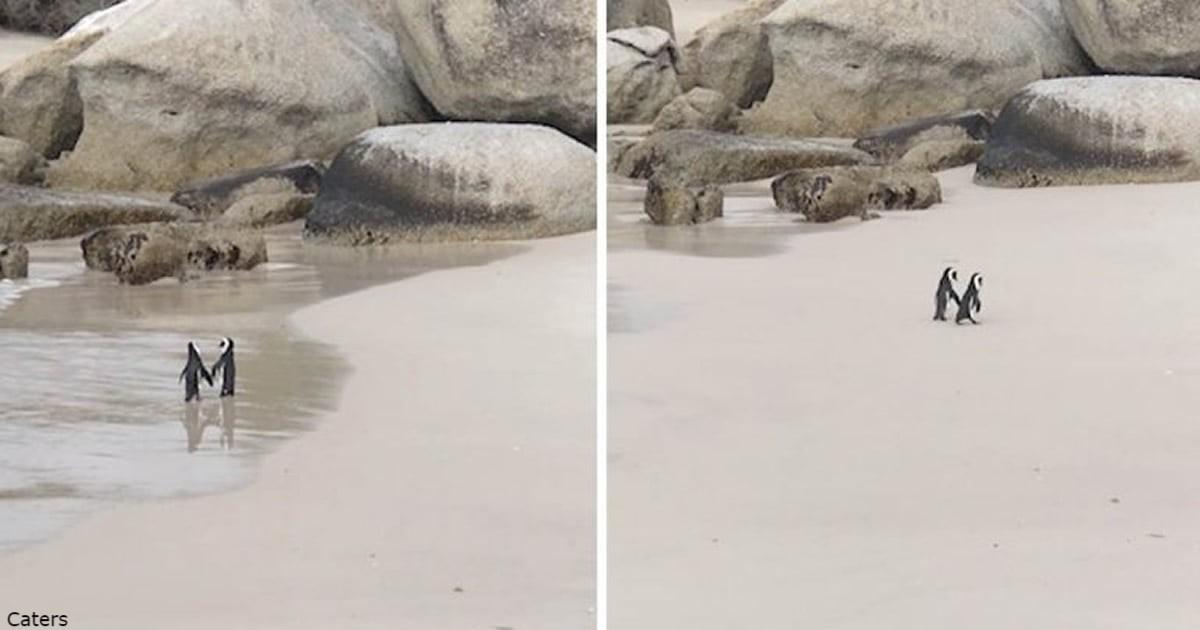 Два пингвина держатся ?за ручки? и мило гуляют по пляжу. Совсем как люди!