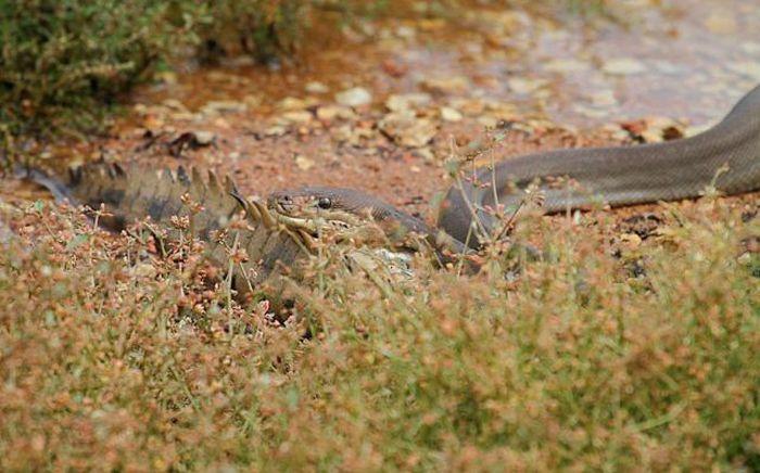 Змея пообедала крокодилом  змея, крокодил