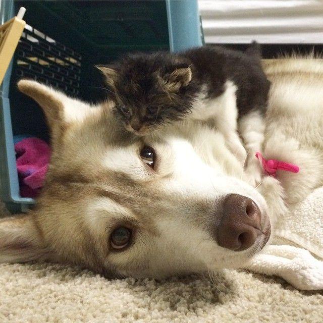 Три хаски спасли кошку от смерти, и теперь они стали лучшими друзьями