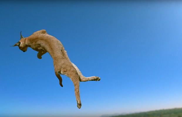 Почему кошки всегда приземляются на лапы?