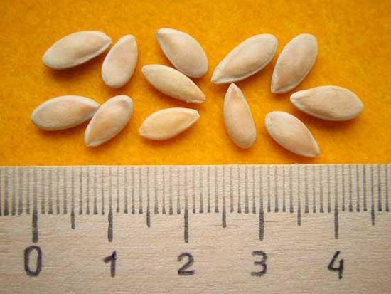 Наилучшие семена огурцов - залог вкусного овоща