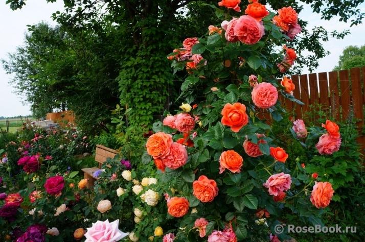 Роза английская выращивание и уход в 795