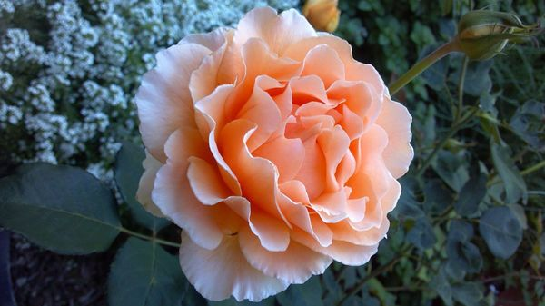 Розы любят уважительное отношение