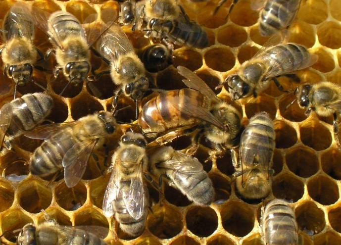 Особый язык пчелиных танцев