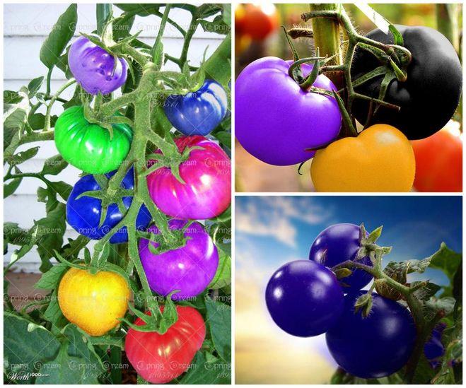 Радужные помидоры  и синие а…