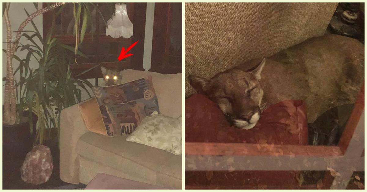 «Это было дико!» Женщина обнаружила пуму у себя в гостиной и… уложила её спать!