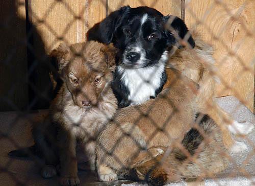 В Благовещенске могут погибнуть 330 собак в приюте «Остров спасения».