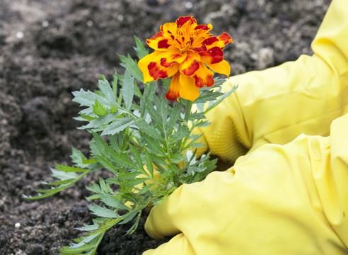 бархатцы, выращивание рассады, уплотнение почвы вокруг рассады при высадке