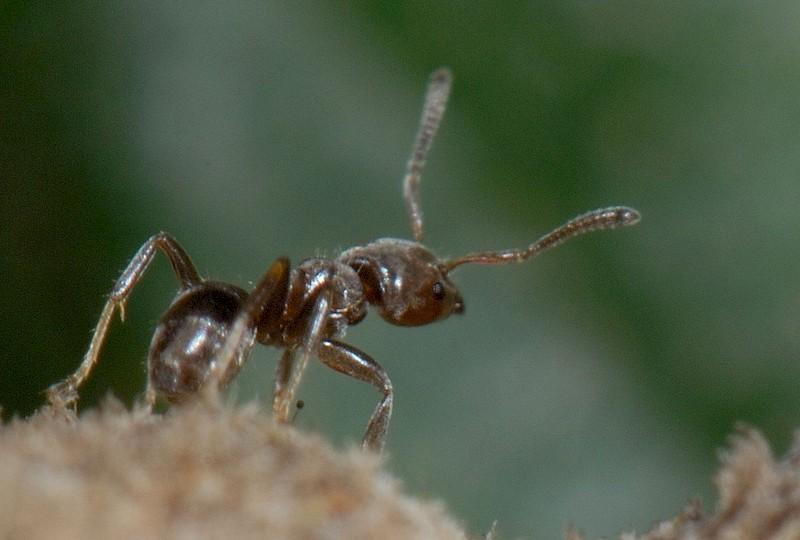 Ученые проследили историю симбиоза муравьев и растений