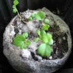 Земляника и клубника выращиваю из семян — продолжение