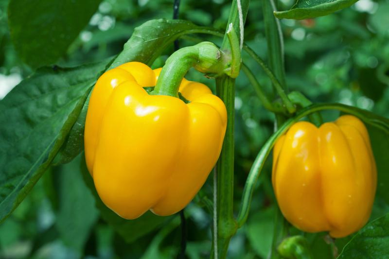 Главные ошибки при выращивании сладкого перца