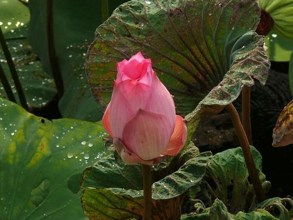 2)Краснодарский край лотос, природа, путешествия, растения, цветы