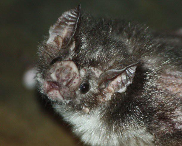 21. Вампировые летучие мыши животные, факты