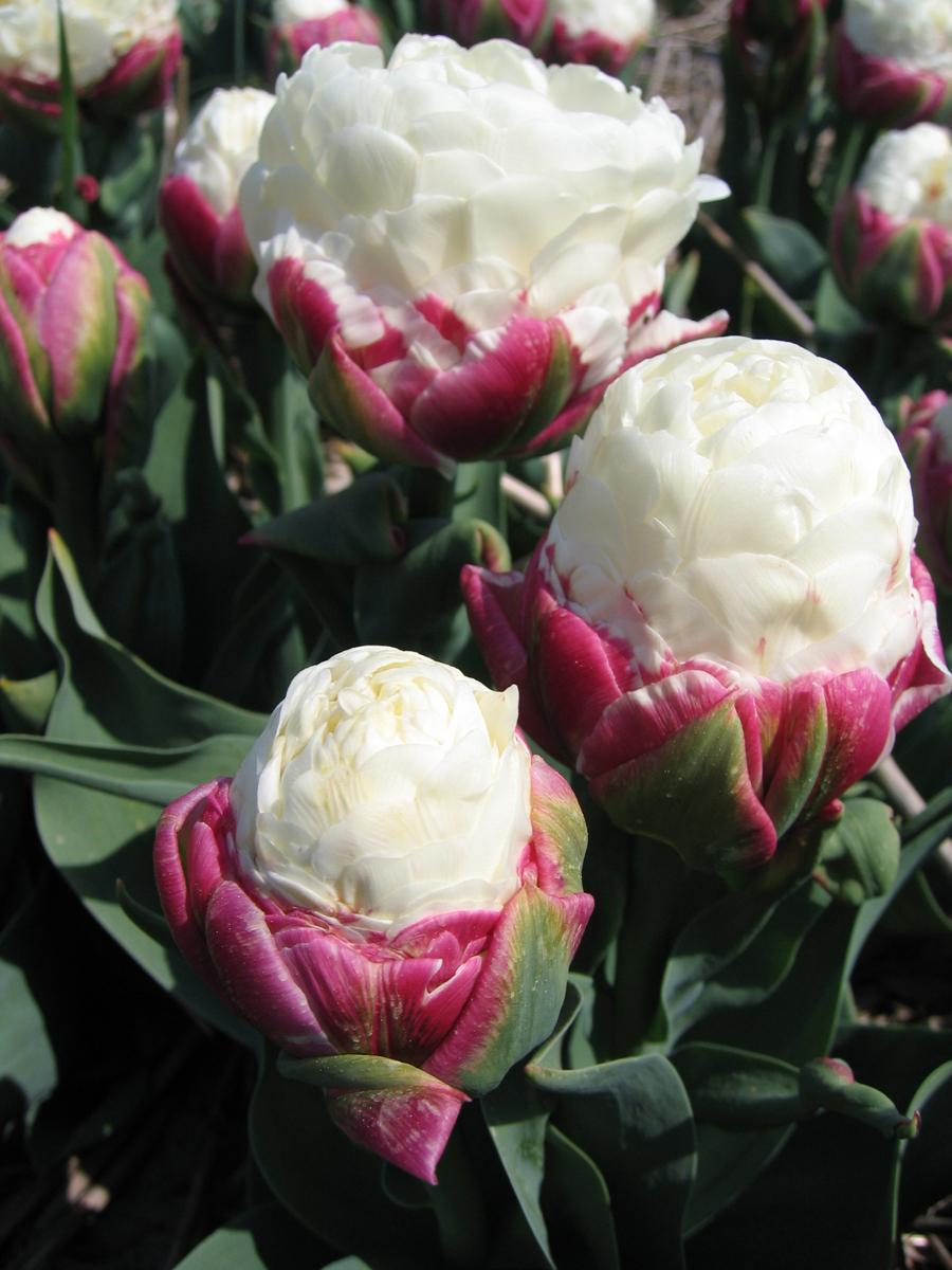 Тюльпан мороженое фото купить 7