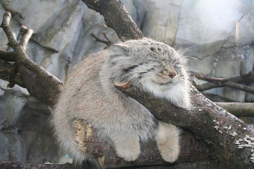 Манул — самая экспрессивная кошка в мире.