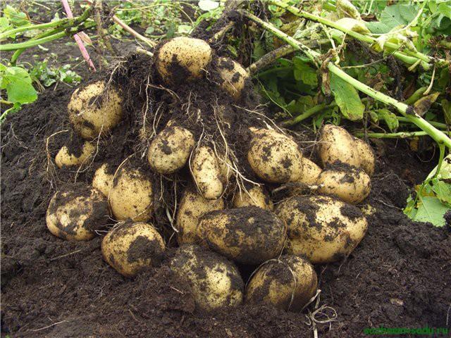 Выращивание картошки для ленивых