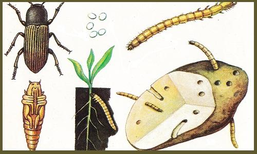 Как избавиться от проволочника на садовом участке простыми способами