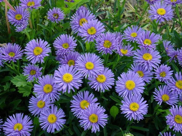 Астра альпийская цветов