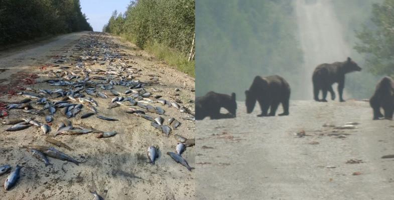 Счастье привалило: медведи сожрали тонну рыбы, выпавшую из перевернувшегося КамАЗа
