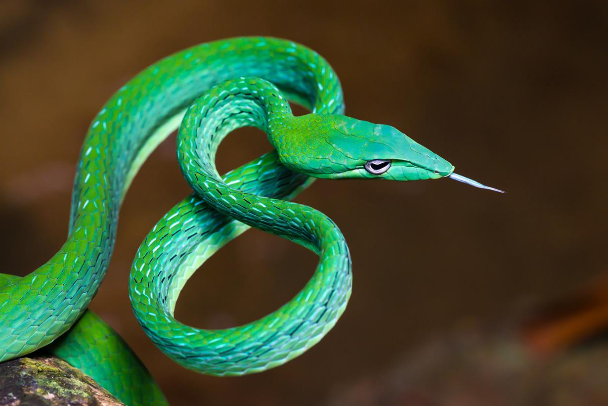 1. Травянисто-зелёная плетевидка в мире, змея, красота
