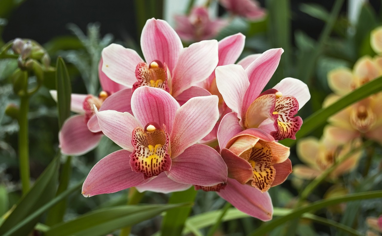 https://upload.wikimedia.org/wikipedia/commons/7/76/Orchidacea_Cymbidium.jpg