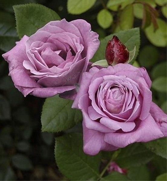 7 самых ароматных роз Tantau