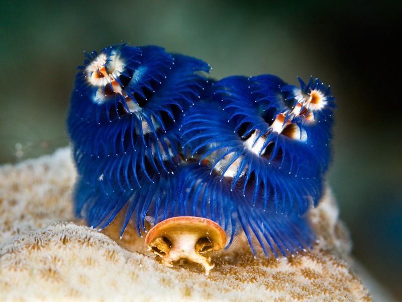 Самые новогодние морские черви