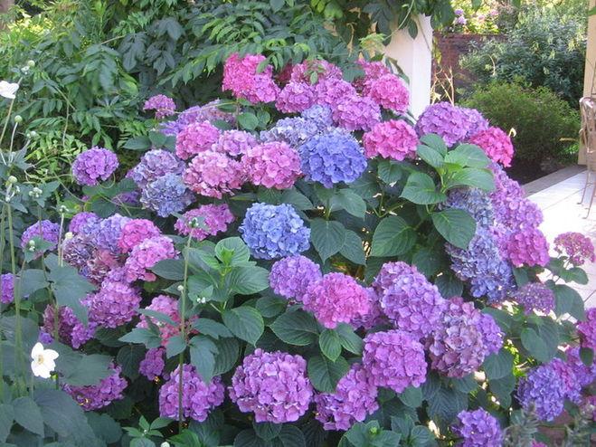 Ландшафтный дизайн фото. Газоны, живая изгородь, цветники, декоративные растения в Бресте - Hydrangea - Гортензия