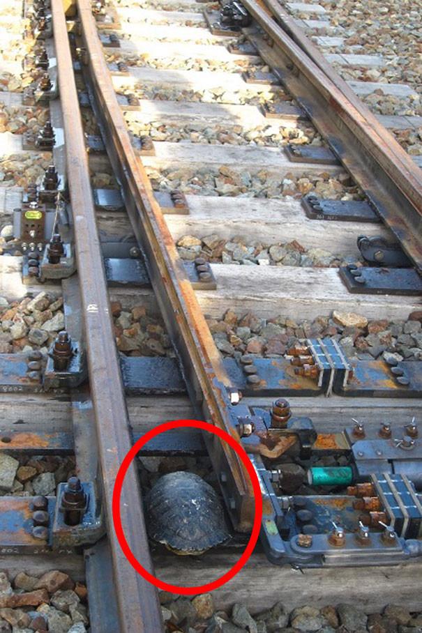 Японские железнодорожники построили тоннели для черепах тоннель, черепаха, япония