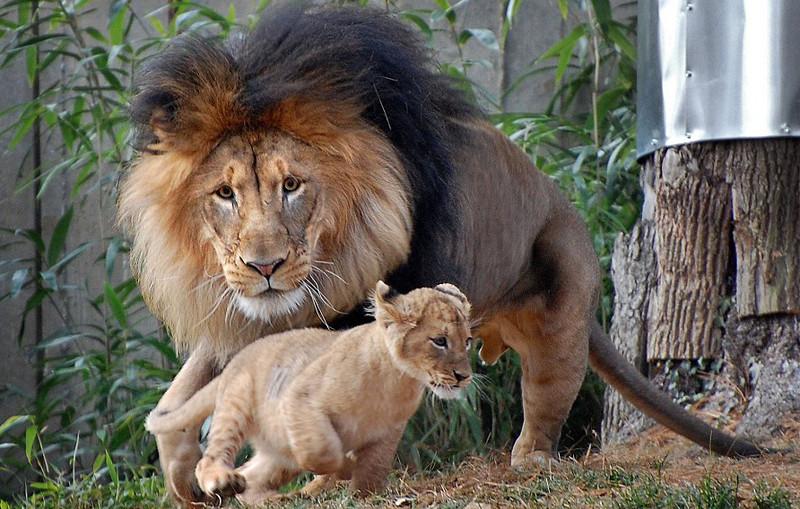 История: как львенок укусил папашу за хвост и чем это кончилось животные, прикол, юмор
