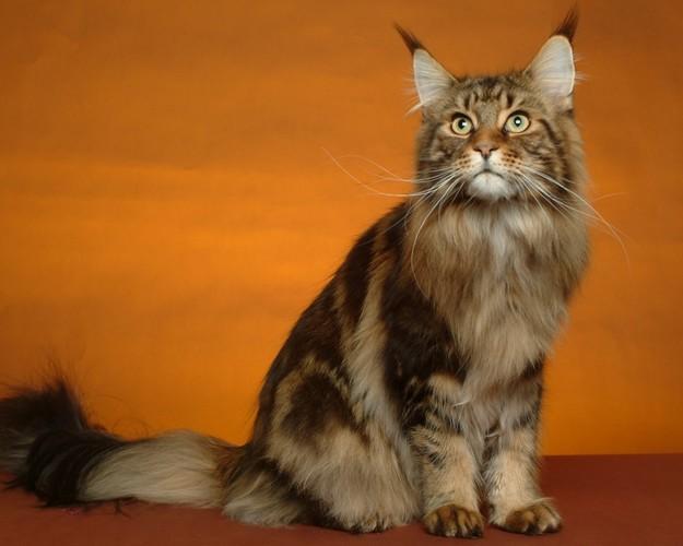 2. Мэйн-кун животные, коты
