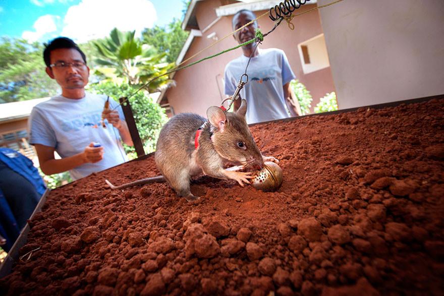 Крысы-бомбоискатели — сотрудники бельгийской службы