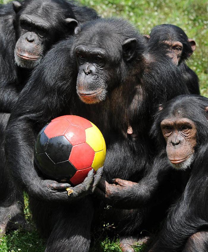 Животные тоже играют в футбо…
