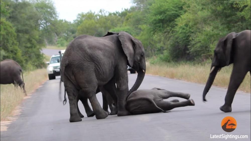 Видеохит: Стадо слонов спасло маленького слоненка