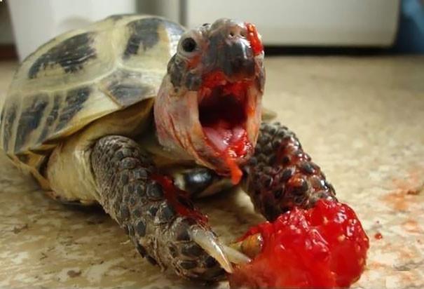 6. Черепаха, поедающая клубнику ниндзя, питомцы, черепахи
