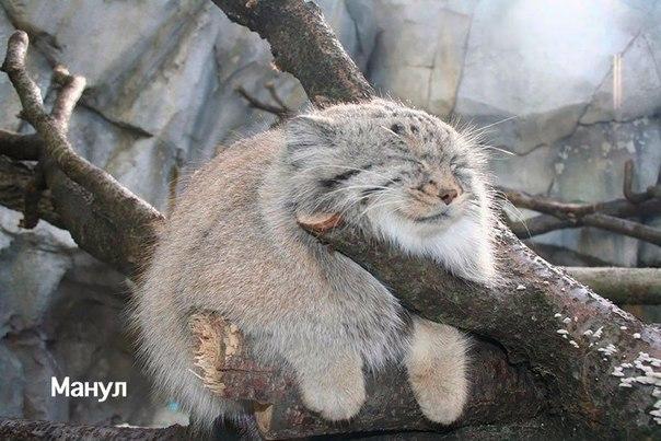 Редкие дикие кошки, о которых вы наверняка не знали (8 фото)
