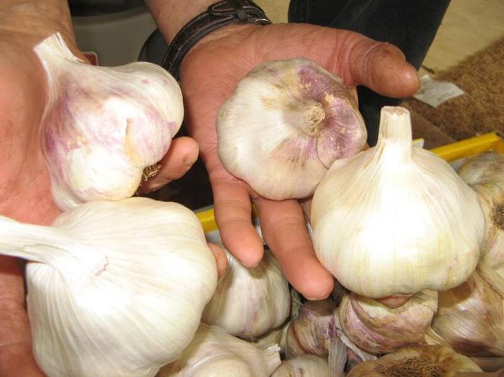 Правильное выращивание чеснока 47