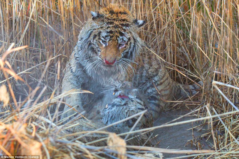 Драматическая схватка двух тигров (10 фото)
