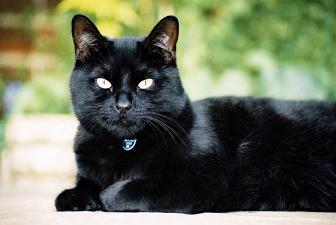 КОШКИН ДОМ. Окрасы кошек. Черная кошка