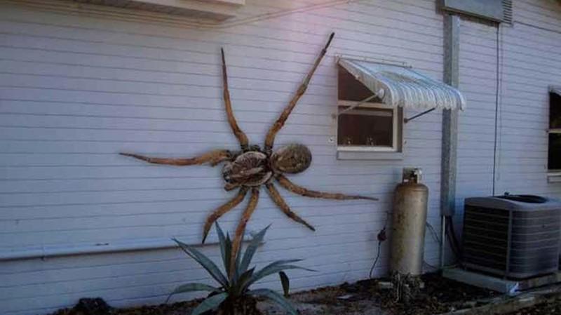 Гигантские ангольские пауки вирусные фотографии, обман, фото, фотошоп
