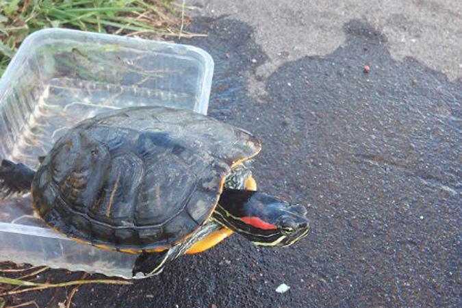 Рыбак выловил в Москва-реке килограммовую черепаху