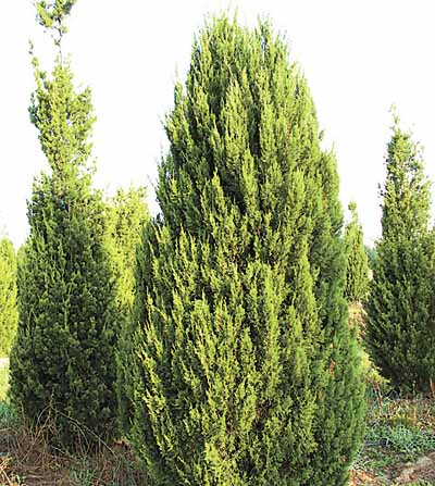 Секреты летней посадки популярных хвойных растений