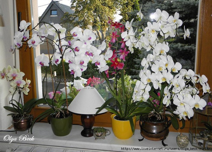 Орхидеи Phalaenopsis . Ошибки и опыт по уходу