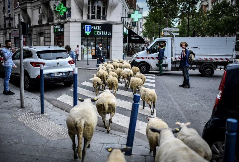 Це Европа: овцы оккупировали…